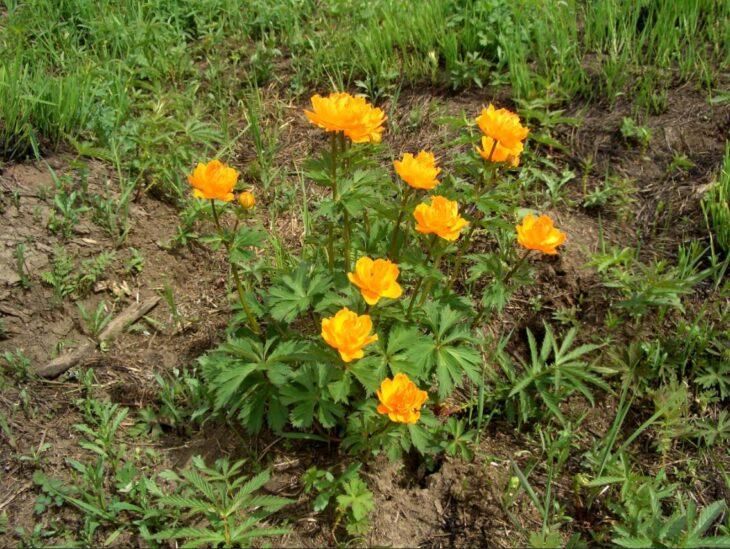 Mongolia Asian globe flower